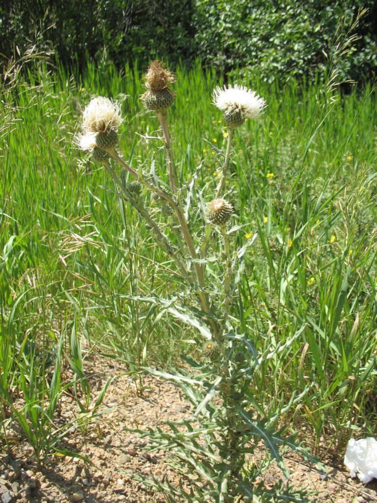 Native Thistles Gilpin County Extensiongilpin County Extension
