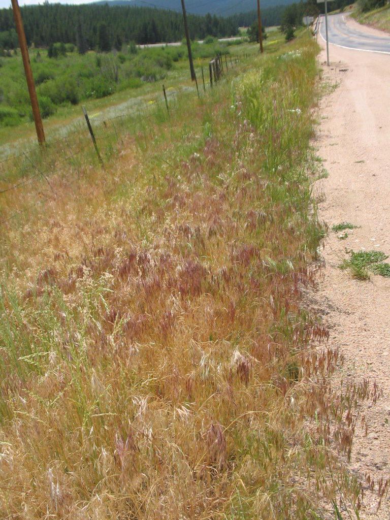 Cheatgrass along a road