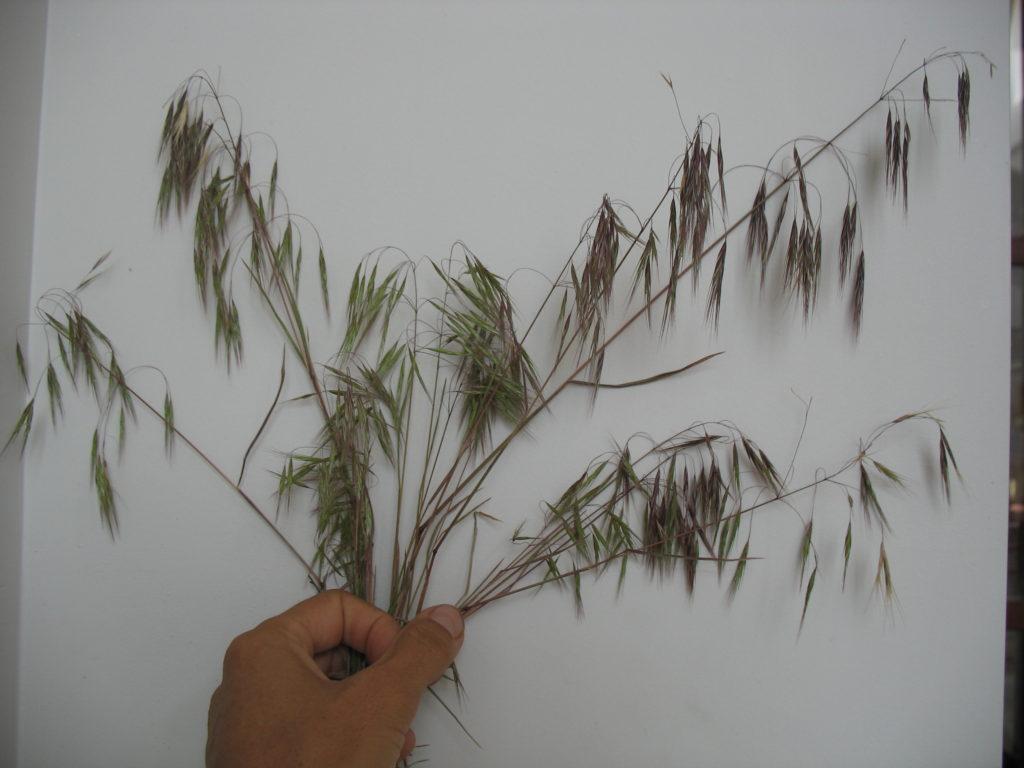 Downy brome/Cheat grass (Bromus tectorum)