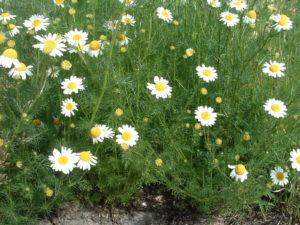 Scentless chamomile (Matricaria perforata)