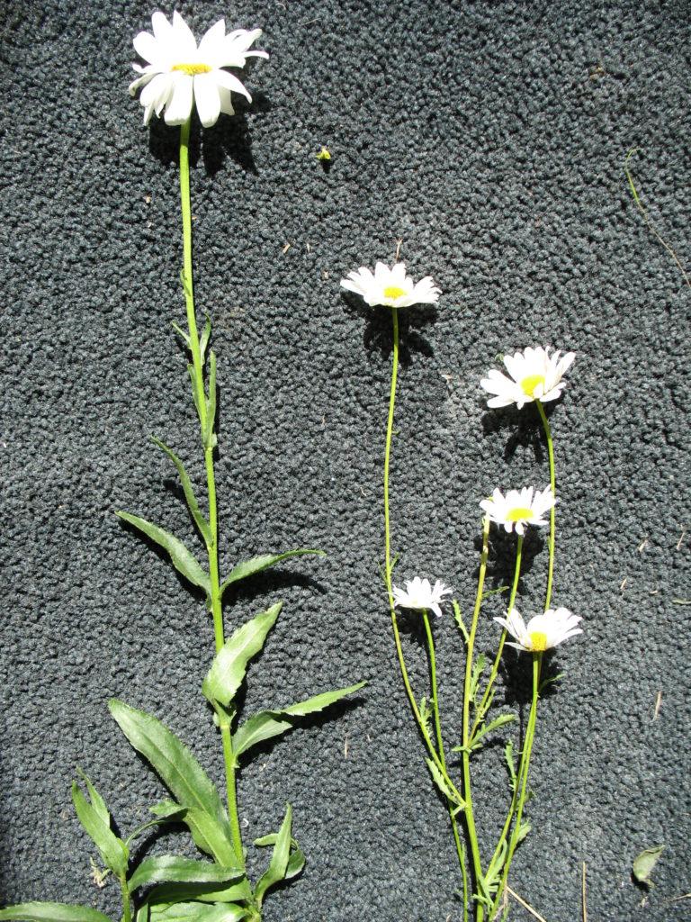Shasta vs. oxeye daisy