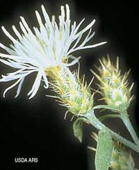 Diffuse knapweed (Centaurea diffusa) (USDA ARS)