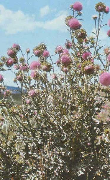 Musk thistle (Carduus nutans) plant