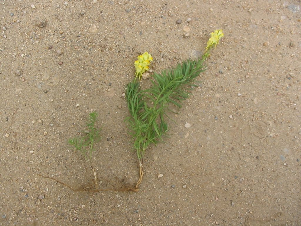 yellow toadflax rhizome